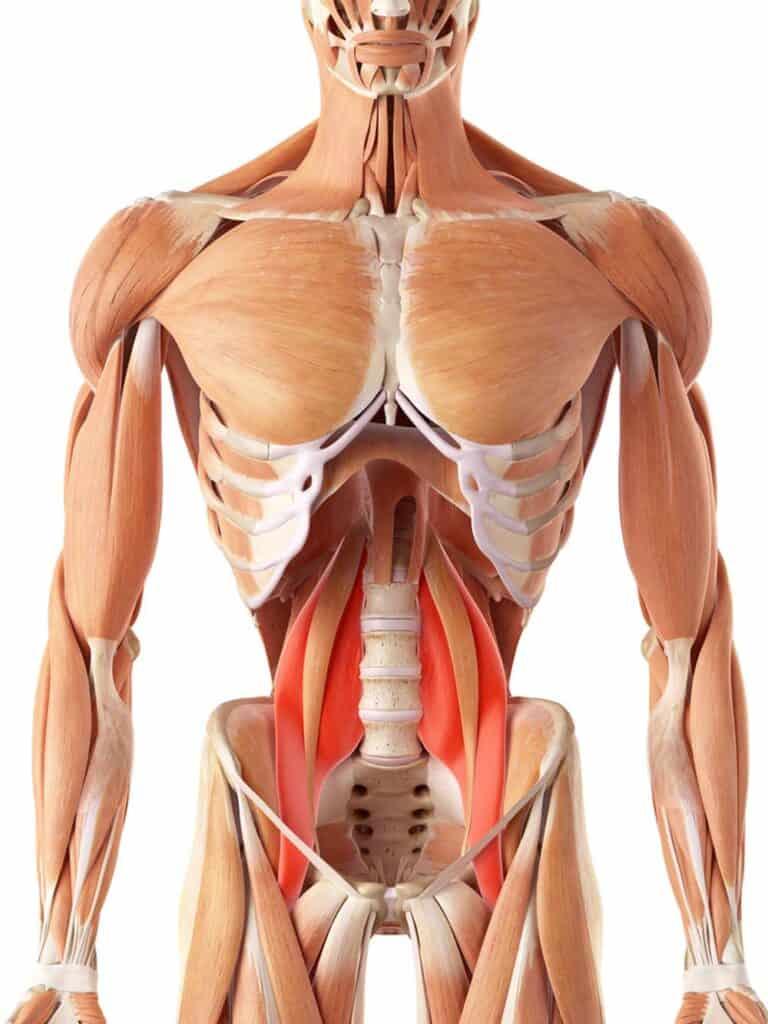 Psoas musklen - hoftebøjerne